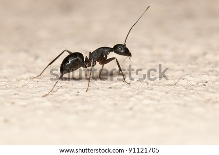 Carpenter ant isolated on white background. This ant is a major pest on houses - stock photo