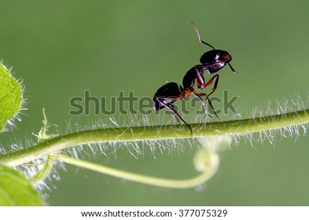Carpenter ant on a plant - stock photo