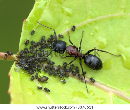 Carpenter ant placing aphids on a leaf for production of honey dew. - stock photo