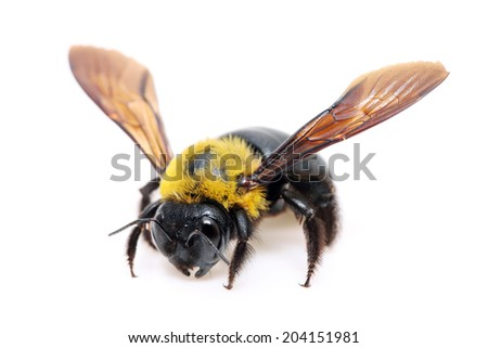 carpenter bee Xylocopa pubescens on a white background - stock photo