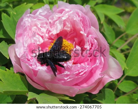 Carpenter bee (Xylocopa valga) on a hybrid cultivar tree peony (Paeonia suffruticosa) flower in the spring garden - stock photo