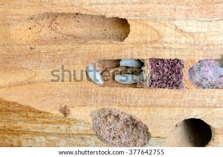 carpenter. larvae in the trunk of the tree. beetles garden pests. damage to the tree trunk insects. - stock photo