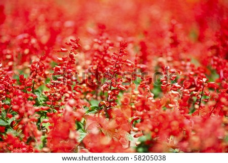 Carpet of beautiful red flowers in a park, very shallow depth of field - stock photo