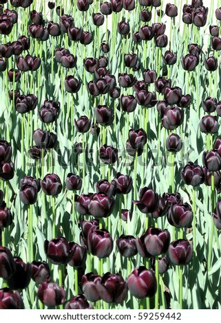 Carpet of Black tulips May Spring in Ottawa, Canada - stock photo