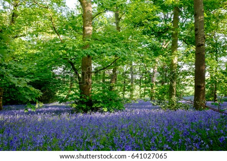 Bluebell stock images royalty free images vectors for Hill country flooring