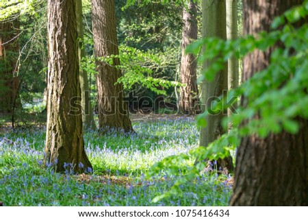 stock-photo-carpet-of-bluebells-in-beech