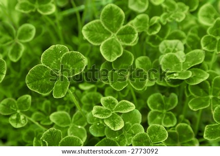 Carpet of clover - stock photo