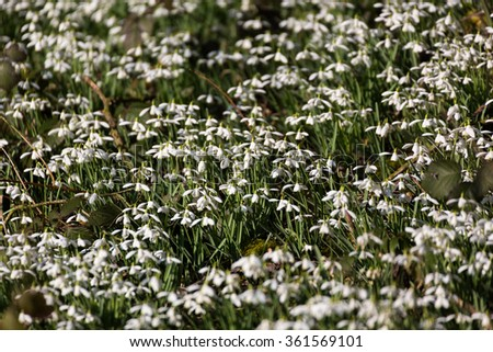 Carpet of Common snowdrops (Galanthus nivalis) heads bowed in the sun on the edge of the wood - stock photo