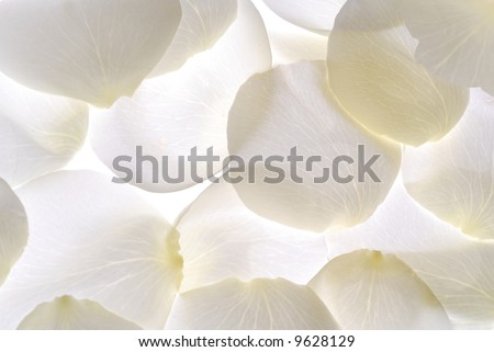 Carpet of heaven made by white Rose petals - stock photo