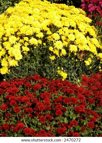 carpet of mums - stock photo