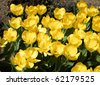 Carpet of Yellow tulips in spring in Washington DC, USA - stock photo