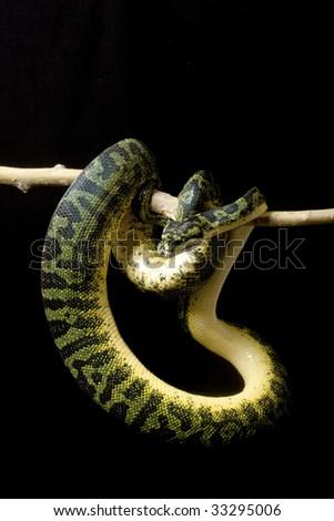 Carpet python and green tree python hybrid isolated on black background. - stock photo