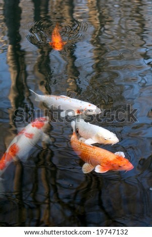 Carps - stock photo