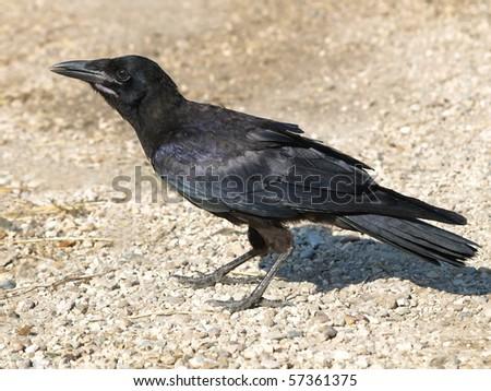 Carrion Crow Corvus corone - stock photo