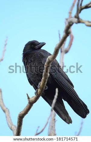 Carrion crow (Corvus corone) in Japan - stock photo