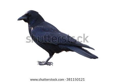 Carrion crow, corvus corone, isolated on white background