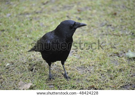 carrion crow resting on green grass field - stock photo