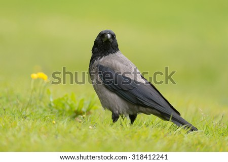 Carrion crow standing in a green meadow / Carrion crow - stock photo
