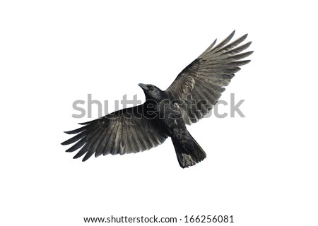 Carrion crow with wide-spread wings isolated against white background