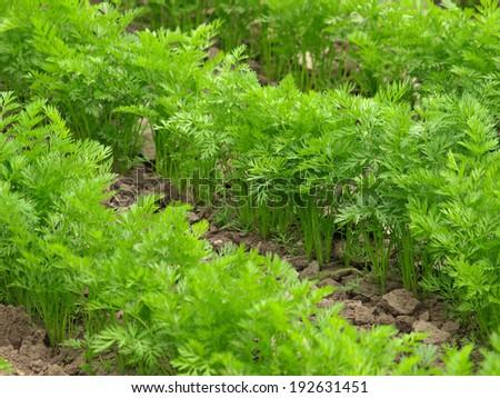 Carrot field - stock photo