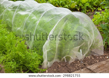Carrot plants being grown under a cloche netting. - stock photo
