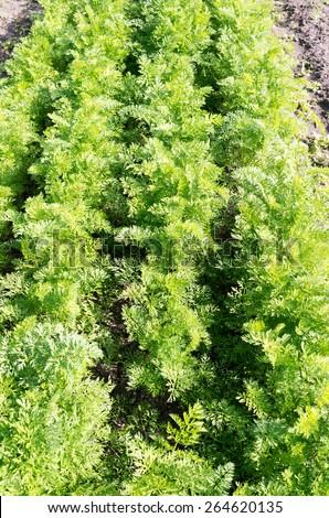 Carrot Plants in an organic vegetable garden in Voorschoten, Netherlands. - stock photo