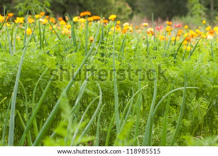 Carrot tops and scallion in vegetable garden - stock photo