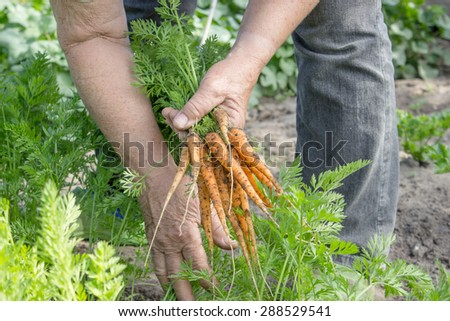 Carrots are harvested in a garden/ carrots / vegetable harvest - stock photo