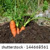 carrots close up soil - stock photo