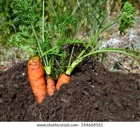 carrots close up soil - stock photo