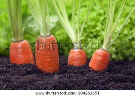 carrots growing in the garden
