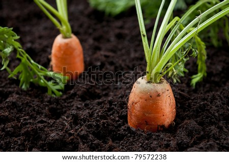 Carrots in the field - stock photo