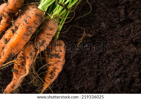 carrots in the garden, close-up. - stock photo