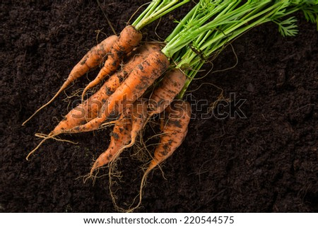 carrots in the ground, close-up. - stock photo