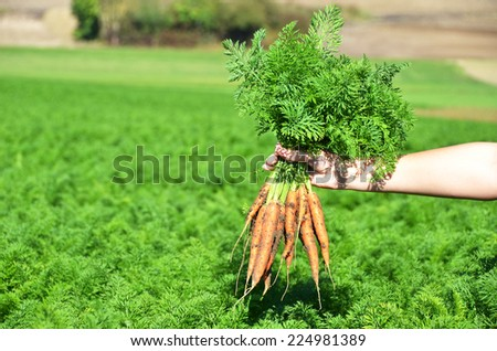 Carrots in the hand - stock photo