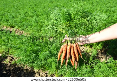Carrots in the hand