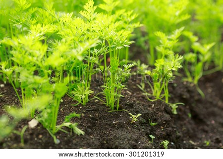 Carrots in the vegetable garden, summer time - stock photo