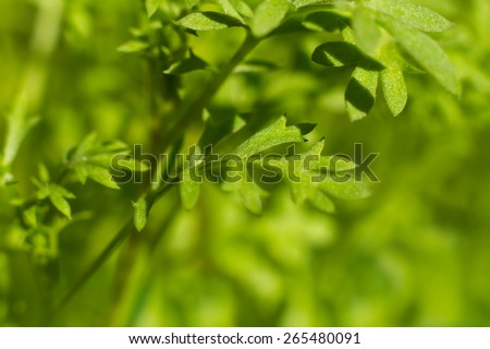 Carrots leafs Young vegetable foliage under the summer sun - stock photo