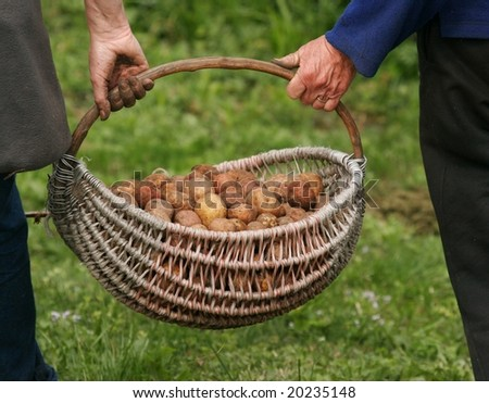 Carrying of basket full of potatoes from garden