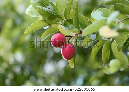Carunda or Karonda fruits fresh on tree