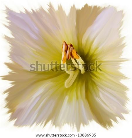 Casablanca Lily - stock photo