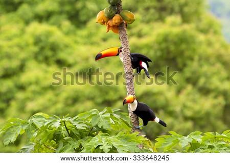 Casal de tucanos no pé de mamão, - stock photo