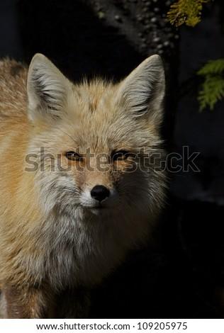 Cascade Mountains Red Fox, close-up portrait, set against a dark background, Mt. Rainier National Park, Washington; Pacific Northwest wildlife / animal / nature / outdoors / recreation - stock photo