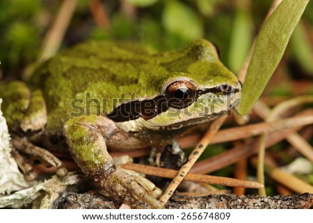Cascades Frog (Rana cascadae) - stock photo