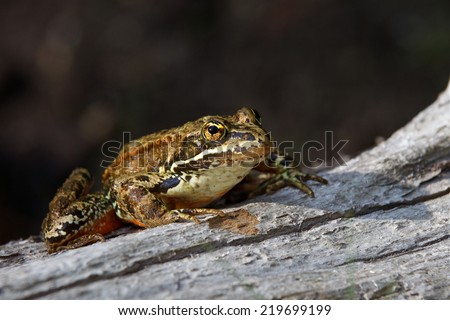 Cascades frog, Rana cascadae, of the Cascade and Olympic Mountains of Washington, California, and Oregon this individual photographed on the Colville Indian Reservation while sitting on a log  - stock photo