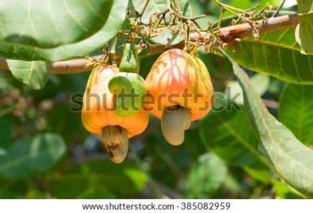 cashew nut on tree - stock photo