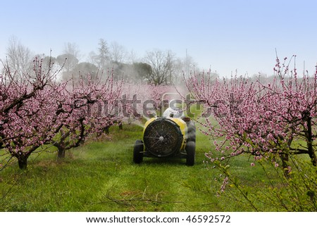 cask tractor sprays a chemical pollutant insecticide or fungicide in the orchard of peach with flowers - pollution with carcinogenic pesticide - stock photo