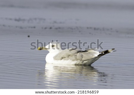 Caspian Gull or Yellow Legged Gull in Danube Delta / Larus cacchinans - stock photo