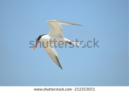 Caspian Tern - stock photo