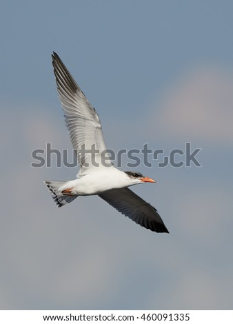 Caspian tern (Hydroprogne caspia) in flight with blue skies in the background